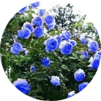 blue climbing rose