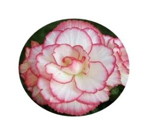 cordelia roses