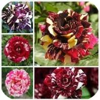 mawar batik