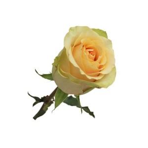 Nectarine Rose