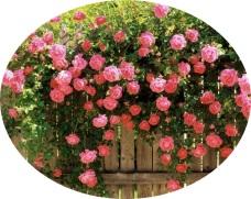 pink climb roses