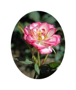 pink spot roses