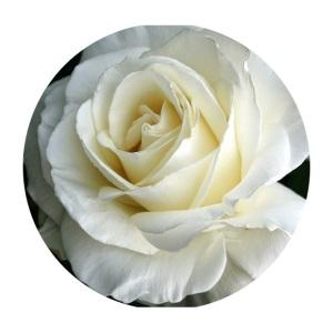 Tineke roses