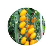 tomat cherry kuning