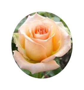 versilia roses