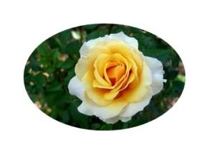yellow white roses
